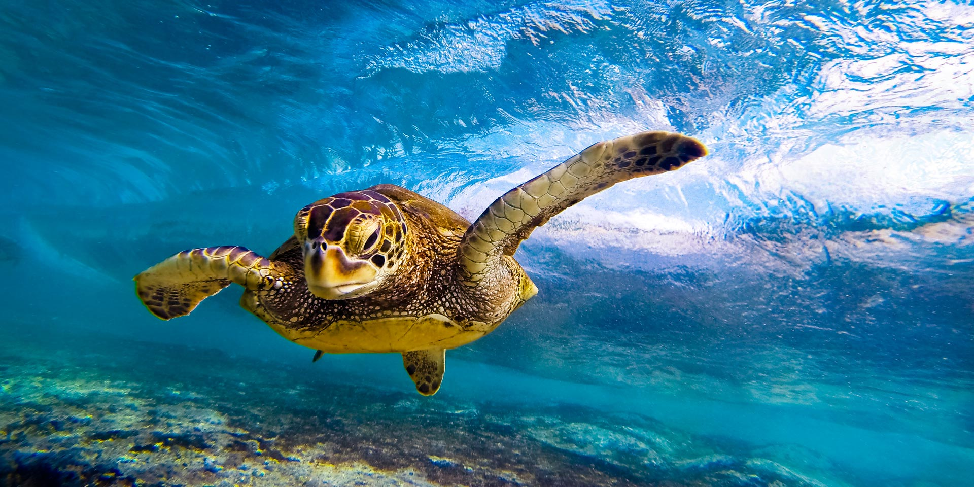 hawaiian green sea turtle anthony tortoriello