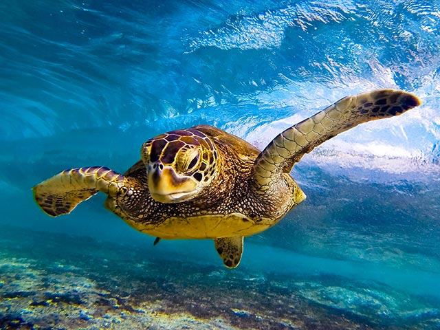 hawaiian sea turtle anthony tortoriello