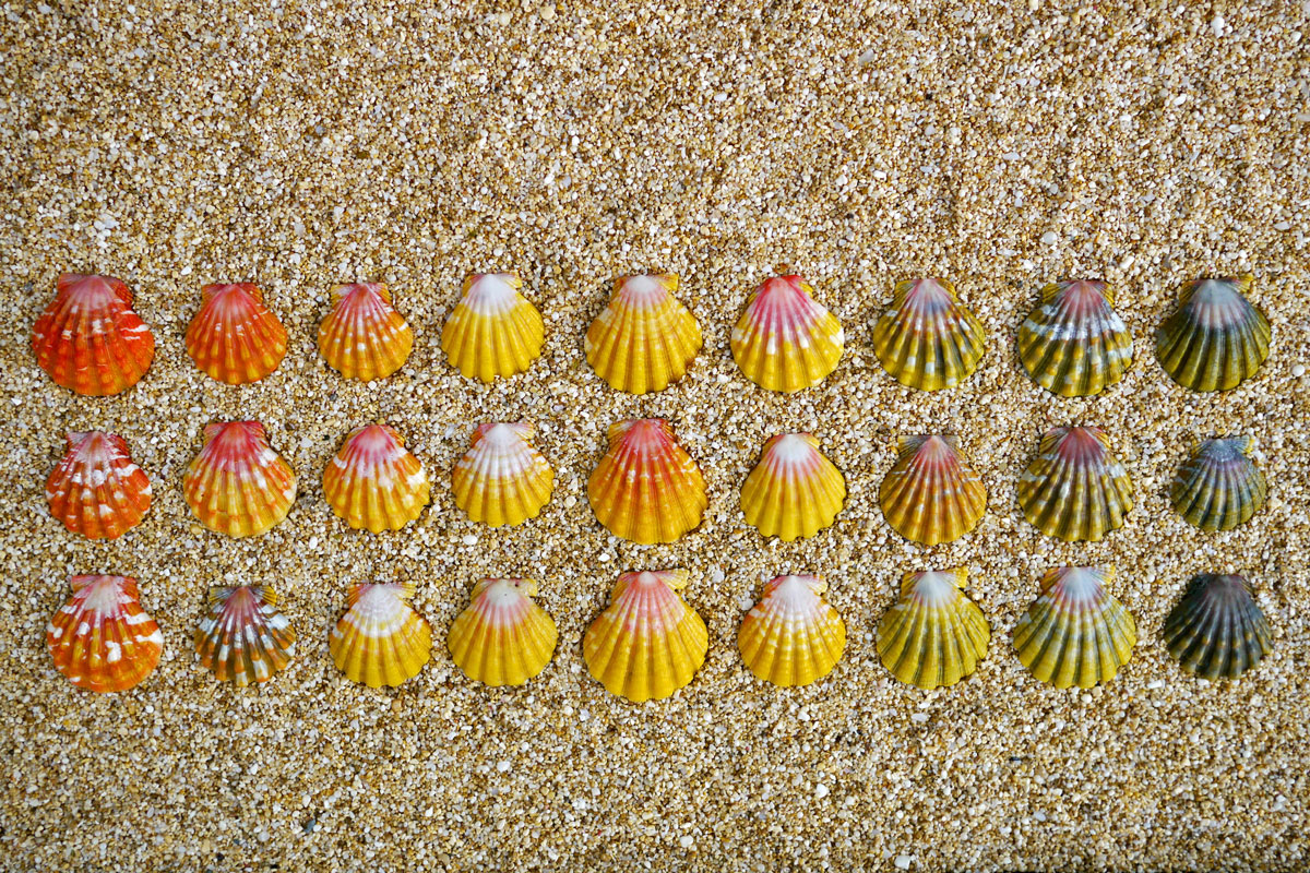 sunrise shell color variation