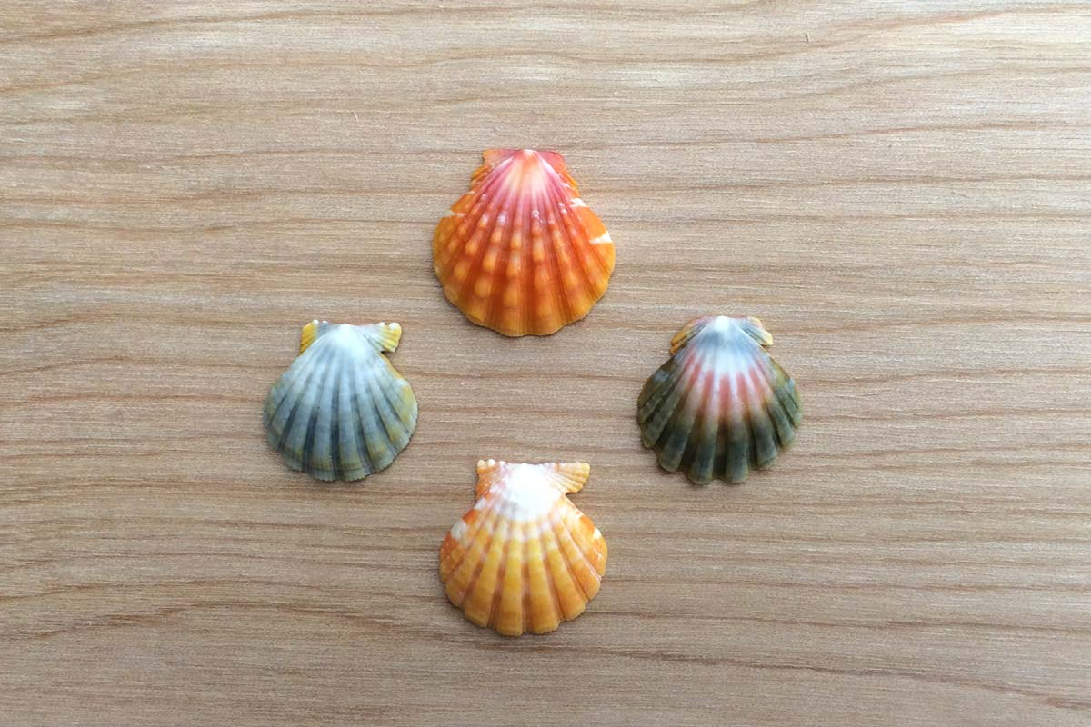 Four sunrise shells of varying colors (red, yellow, green, and blue). Photograph by Shawn Young.
